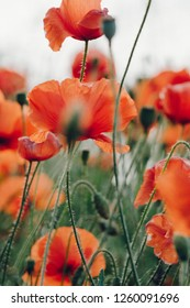 Poppy field with wild flowers