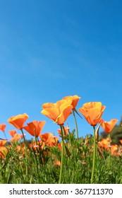 Poppy field and wild flowers in sunlight under a blue sky