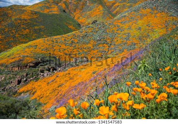 Poppy fields are blooming on California mountains