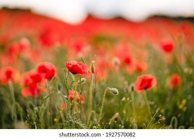 Poppy fields blooming in a sea of red