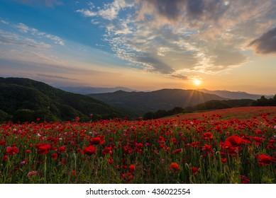 poppy fields in Chichibu