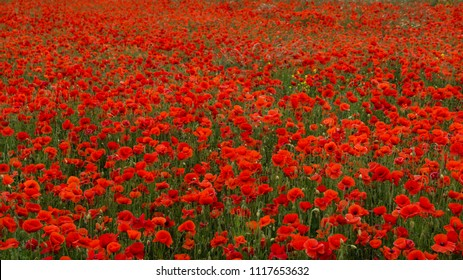 Poppy Fields, Flanders Field, Red Flowers on a Green Field Background