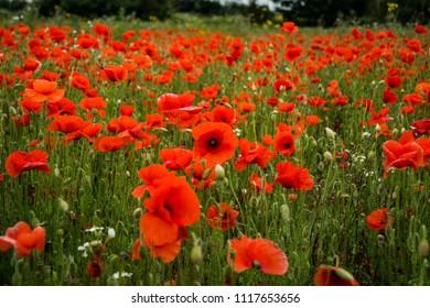 Poppy Fields, Flanders Field, Red Flowers on a Green Field Background