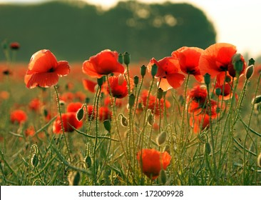 Poppy flower images stock photos vectors shutterstock poppy flower mightylinksfo