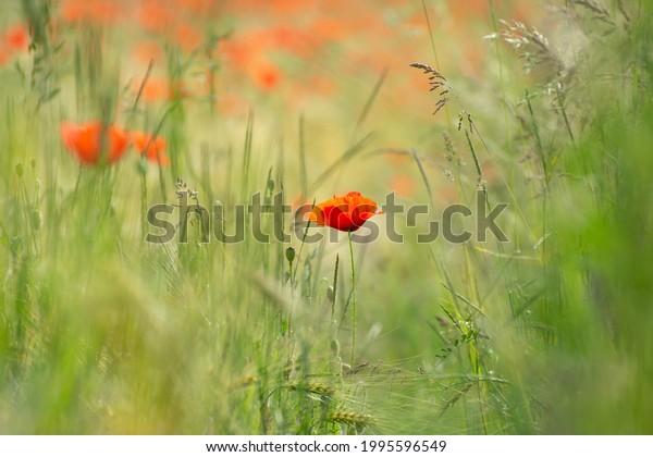 poppy-flower-against-wheat-field-600w-19