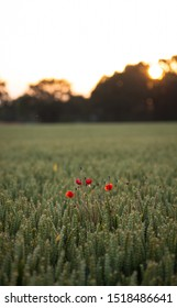 A poppy flower amongst a golden wheat field at sunset. A lovely English countryside viewpoint for an lucky person to stumble across in Suffolk.