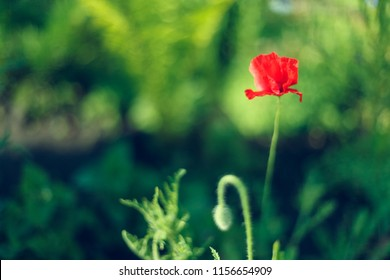 Poppy flower. Beautiful single flower head. Poppy flowers field nature spring background. Orange poppy flower. Beautiful poppies. Wild poppy flower. Beautiful summer meadow nature.