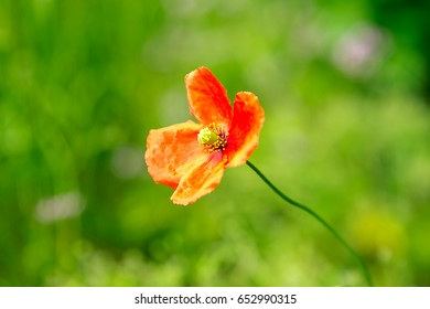 Poppy flower blooming in summer