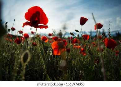 Poppy flower. A field of poppy flowers blossoming during the spring.