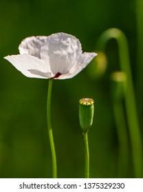 Poppy flower field on blurred green background. Spring season.
