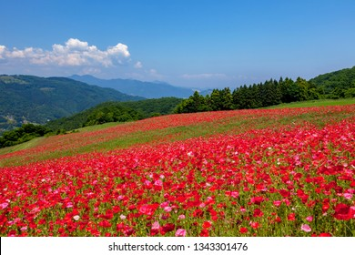 Poppy Flower Field, Saitama Prefecture, Japan