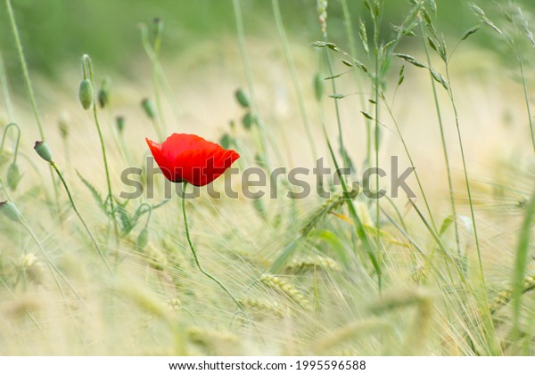 poppy-flower-field-sunrise-600w-19955965