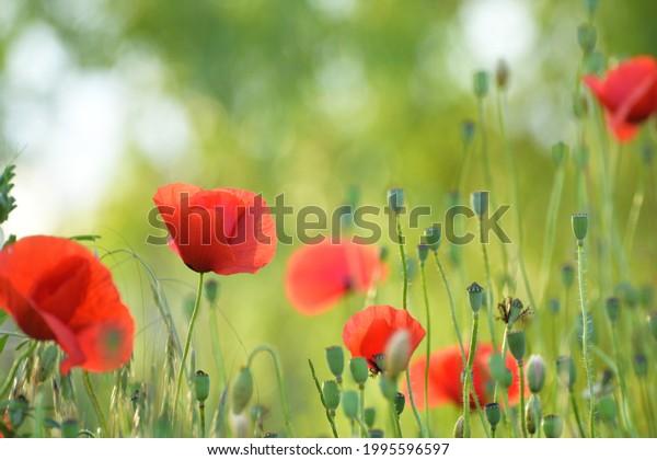 poppy-flower-field-sunset-600w-199559659