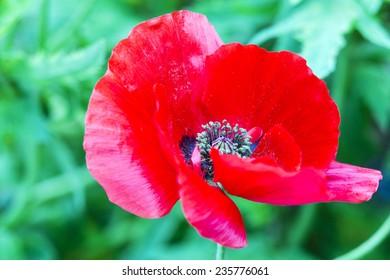 Poppy flower poppy flower full bloom stock photo edit now poppy flower a poppy flower in full bloom the poppy plant is the source mightylinksfo