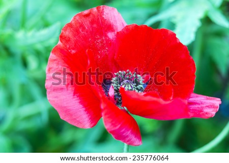 Poppy flower poppy flower full bloom stock photo edit now poppy flower a poppy flower in full bloom the poppy plant is the source mightylinksfo