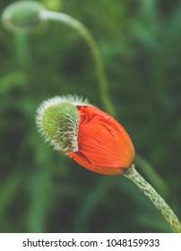 Poppy flower getting ready to bloom