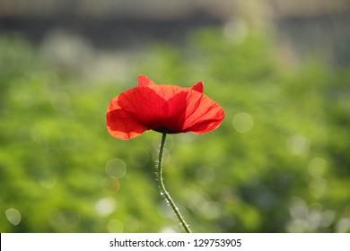 A Poppy Flower Lit Against the Summer Sun