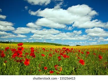 Poppy flower on rape field