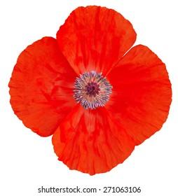 Poppy Flower. Remembrance Day