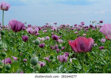 Poppy flower variety colors very beautiful stock photo 100 legal poppy flower variety of colors very beautiful field of poppy flowers photographed on mightylinksfo
