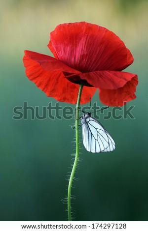 Poppy flower white butterfly stock photo edit now 174297128 poppy flower with white butterfly mightylinksfo