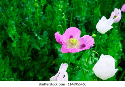 Poppy flowera and heads