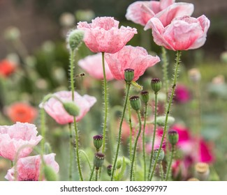 A poppy is a flowering plant in the subfamily Papaveroideae of the family Papaveraceae