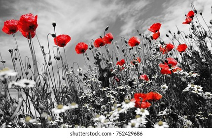 poppy flowers backgraund