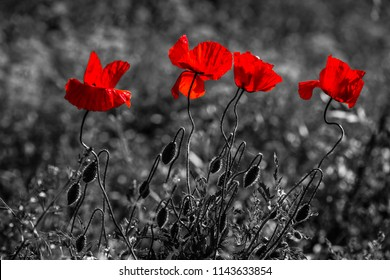 Poppy flowers, black and white, red