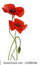 Poppy flowers with bud, isolated,