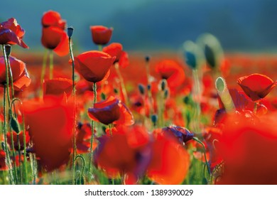 poppy flowers close up in the field. beautiful summer background