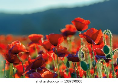 poppy flowers field bathing in the sunlight. beautiful summer background