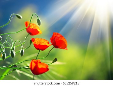 Poppy flowers field nature spring background. Blooming Poppies over blue sky on wind. Rural landscape with red wildflowers.