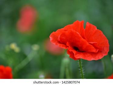 poppy flowers in the field in poland