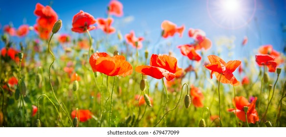 Poppy flowers field. Rural landscape with red wildflowers