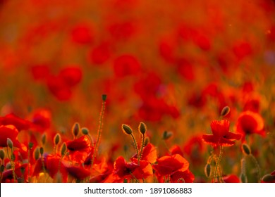 Poppy flowers field at sunset or sunrise. Agriculture and natural background