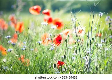 poppy flowers fields