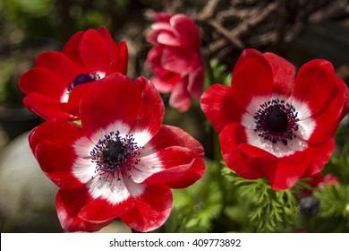 Poppy Flowers in a Garden