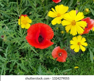 poppy flowers growing  in Guelph, Ontario, near the home of the author of the poem In Flanders Field
