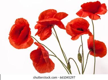 poppy flowers isolated on white