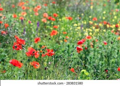 poppy flowers meadow summer season