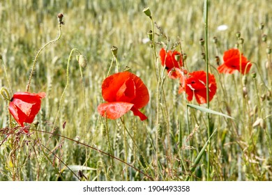Poppy flowers in the middle of a field.