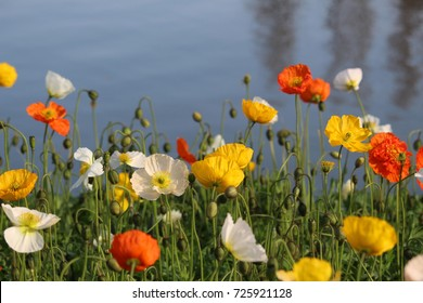 Poppy flowers on the bank of the lake