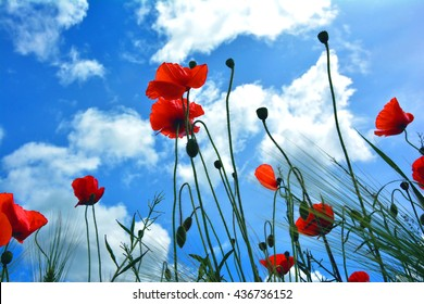 Poppy flowers on green field with the sky background