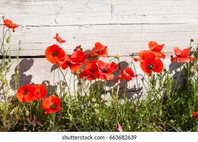 Poppy flowers on the street and urban degradation