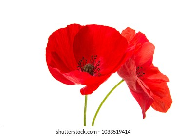 a poppy flowers on a white background