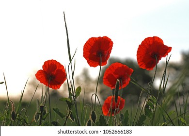 Poppy flowers or papaver rhoeas poppies with the light behind in Italy remembering 1918, the Flanders Fields poem by John McCrae and 1944, The Red Poppies on Monte Cassino song by Feliks Konarski