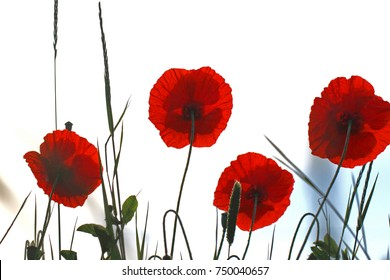 Red poppies on monte cassino images stock photos vectors poppy flowers or papaver rhoeas poppies with the light behind in italy remembering 1918 the mightylinksfo
