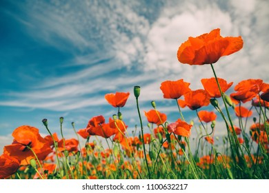 Poppy flowers retro vintage summer background, shallow depth of field with red flowers over green background. Meadow with beautiful bright red poppy flowers in spring.