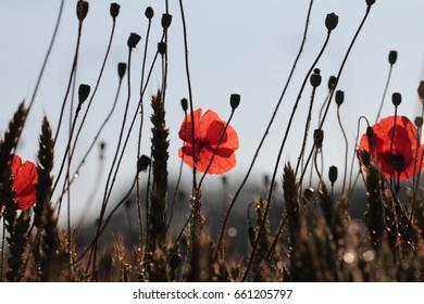 Poppy flowers, spring